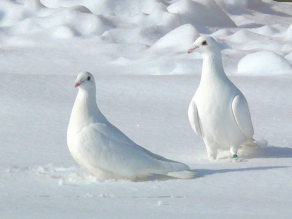 White-Pigeons-Hd-Wallpaper.jpg