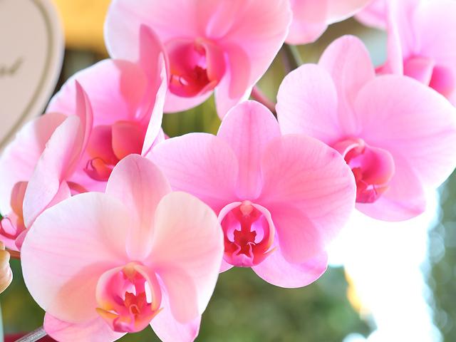 ピンク 胡蝶蘭 お祝 かわいい