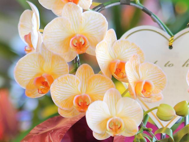 オレンジ 胡蝶蘭 青 花 サプライズ 珍しい色 配達
