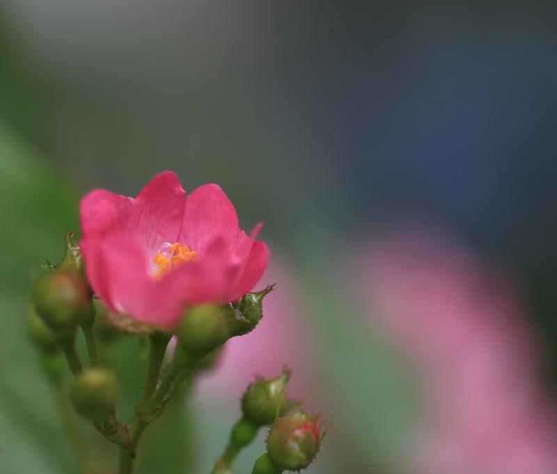 047 薔薇の滴0001