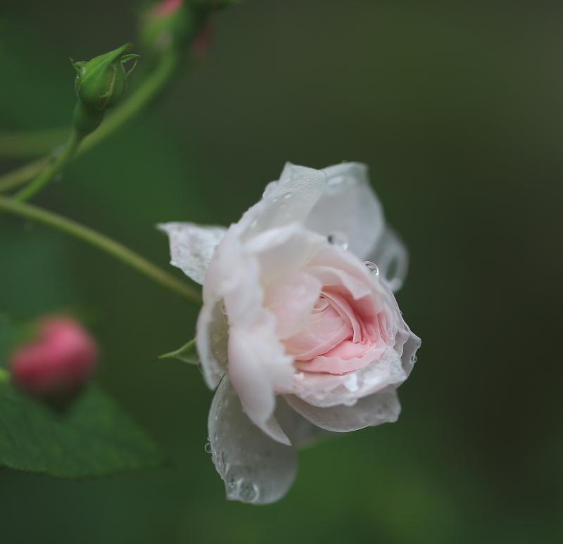 048 雨に濡れた薔薇0001