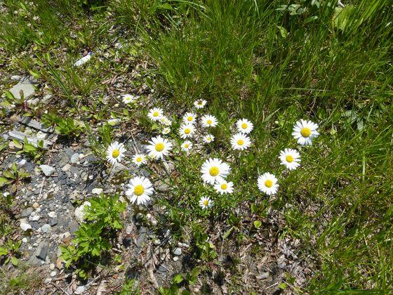 蔵王中央高原に咲くノースポール