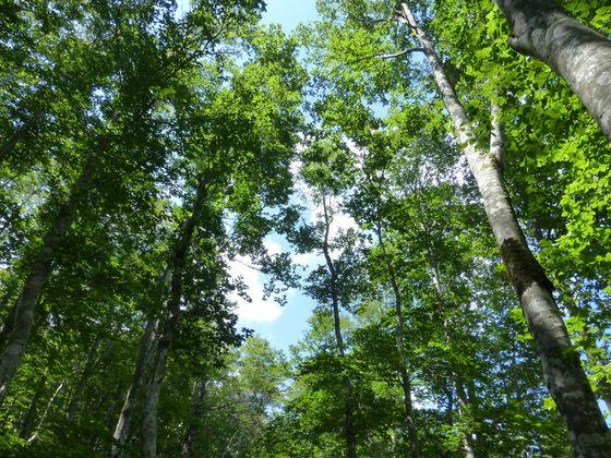 美しいブナの森が続く蔵王のトレッキングコース