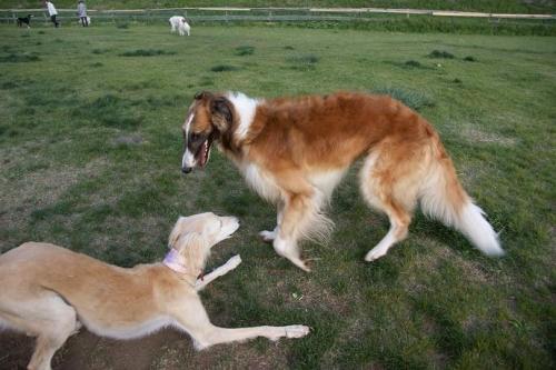 大型犬10
