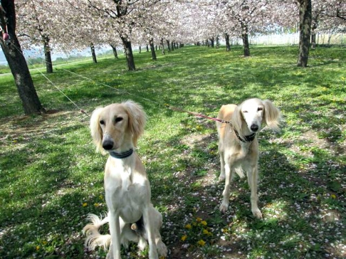 八重桜の森13