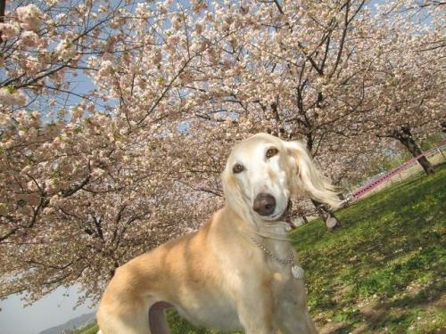八重桜の森17