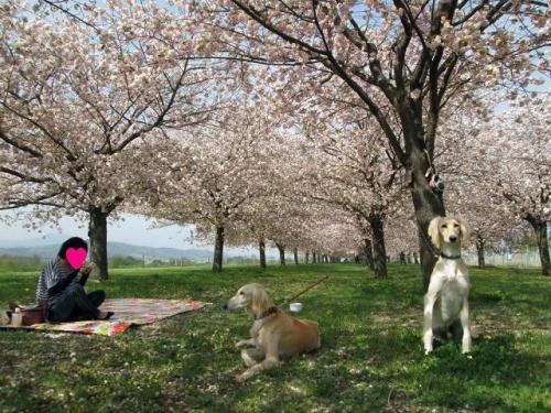 八重桜の森19
