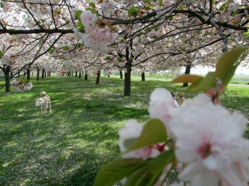 八重桜の森20