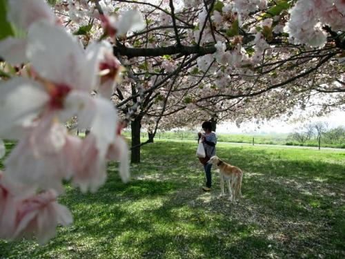 八重桜の森21