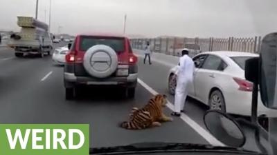 【衝撃!】え~っ!高速道路でトラが逃げた?おぉ~走ってるよ~