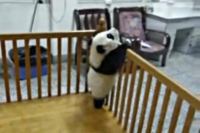 【衝撃!】カワイすぎる!赤ちゃんパンダの大脱出!
