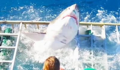 【危機一髪】ホホジロザメが安全なはずのゲージに侵入!ダイバーは?
