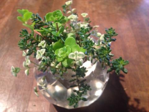 多肉植物 ガラス