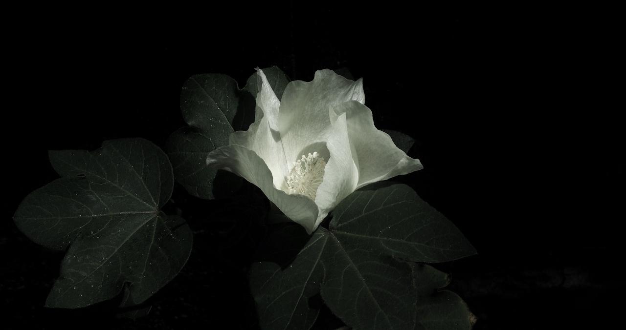 06綿の花
