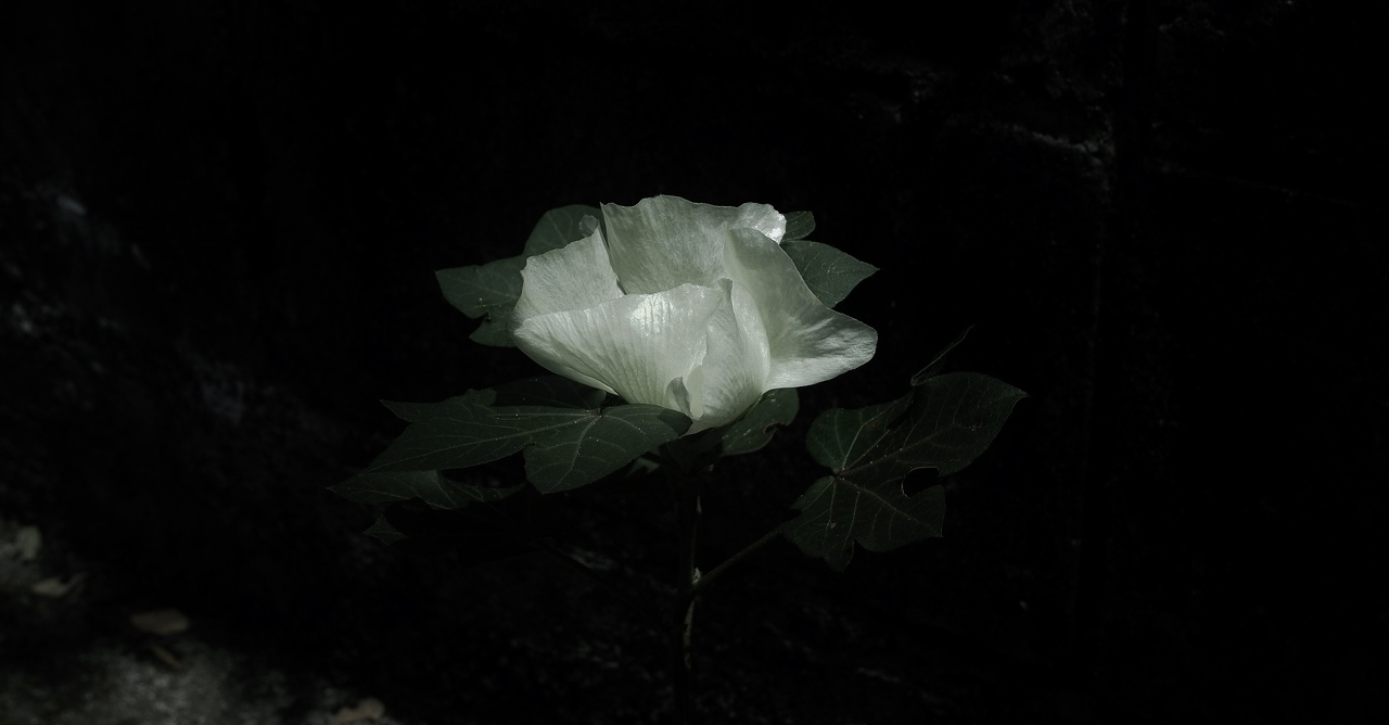 07綿の花