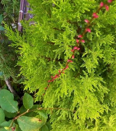夏 庭の花々 (4)
