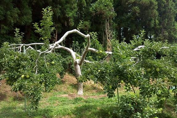 りんご畑 (2)