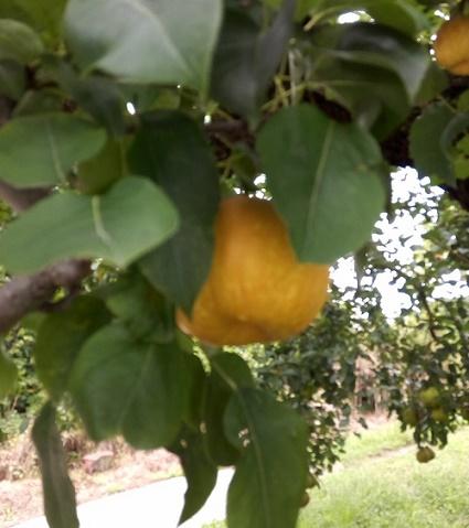 梨の木一本 (2)