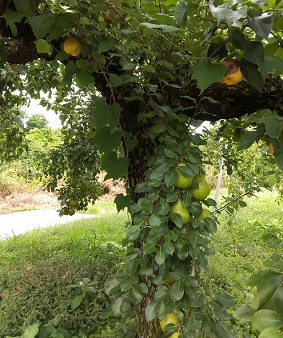 梨の木一本 (1)