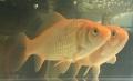 金魚0704