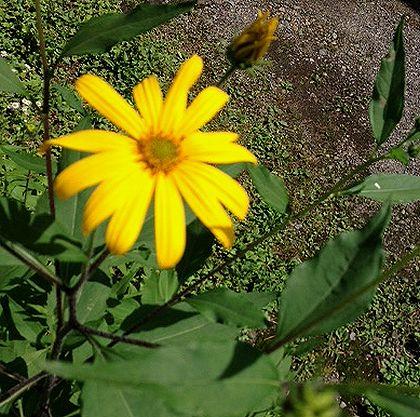 2016キクイモの花in日光