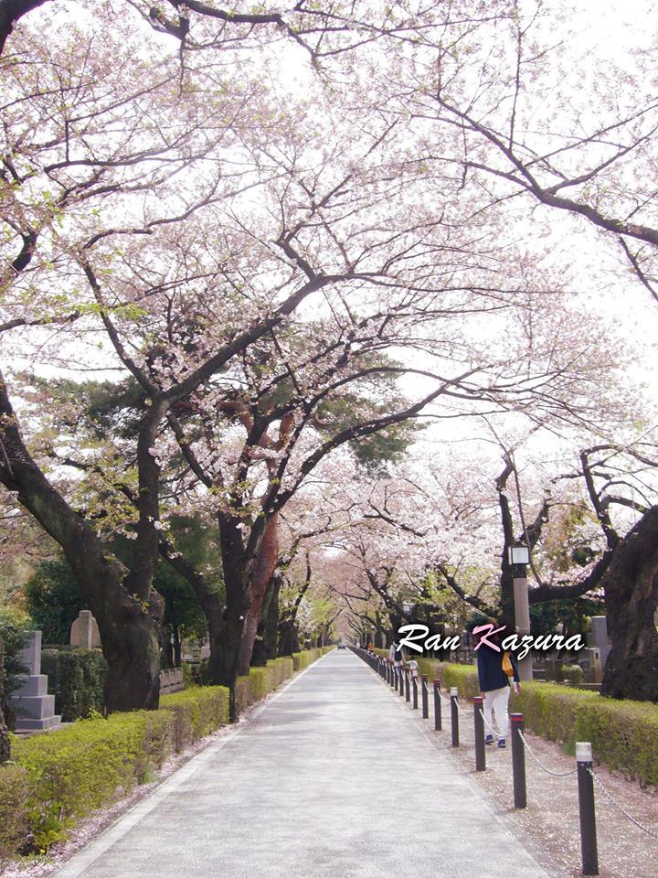 青山墓地 桜並木通り