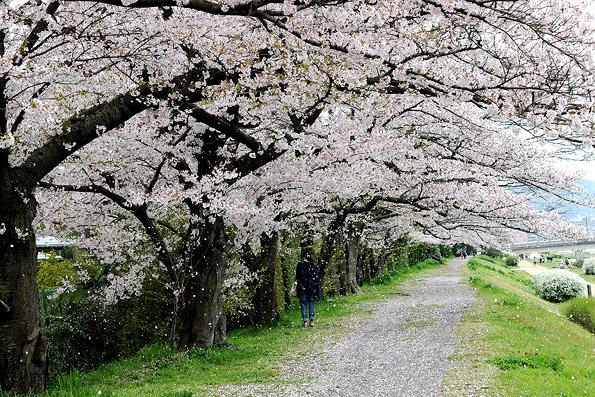 20160417 桜吹雪 21㎝5747