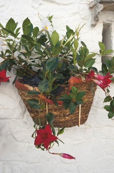 20160917 Alberobello flower 14cm DSC06121
