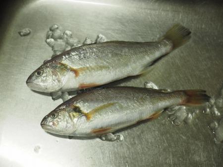 イシモチの刺身、炙り、湯霜01