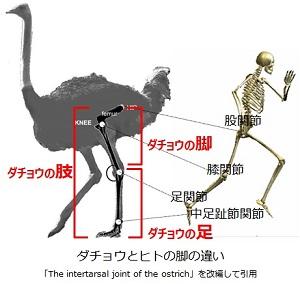 ダチョウとヒトの肢の違い