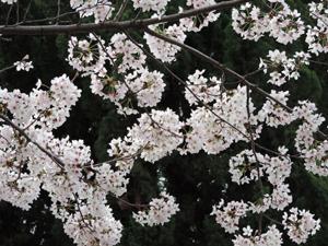 20160406桜blog01