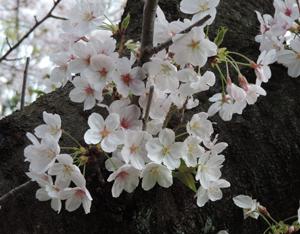 20160406桜blog02
