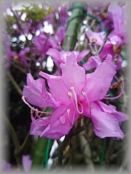 ミヤマの花