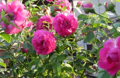 8月薔薇2