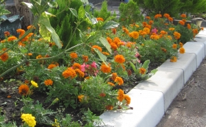 花壇のマリーゴールド