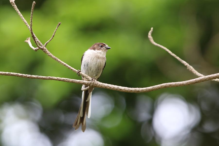 2016-5-エナガ幼鳥0H7A5390
