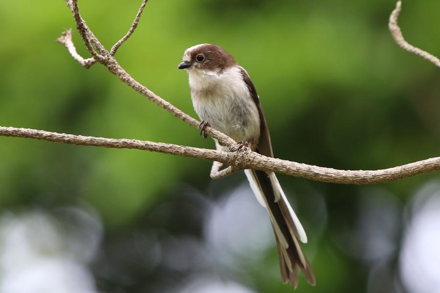 2016-5-エナガ幼鳥0H7A5410