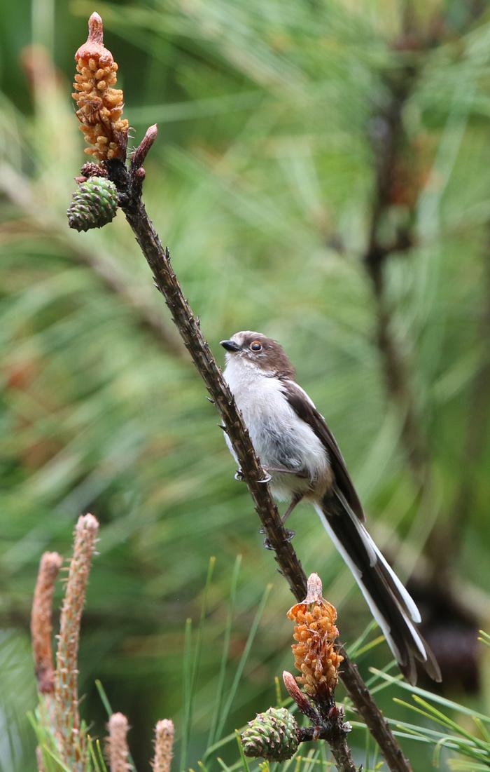 2016-5-エナガ幼鳥0H7A5434