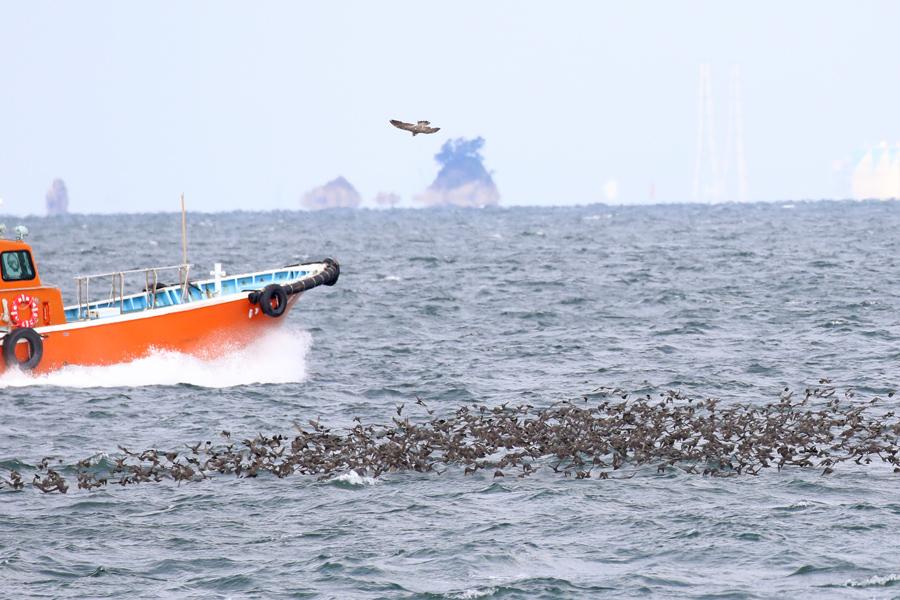 2016-10-10-伊良湖ヒヨドリの渡りT84A4457