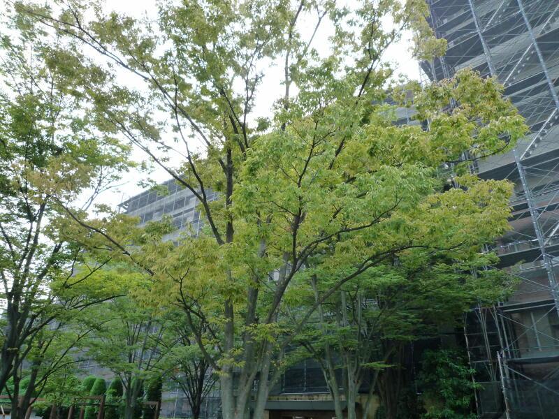 20161002-1-色付いてきた樹