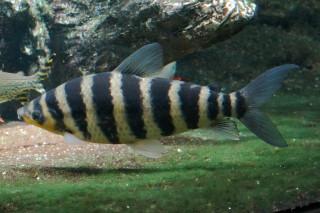 レポリヌス・ファシアータス(池袋)