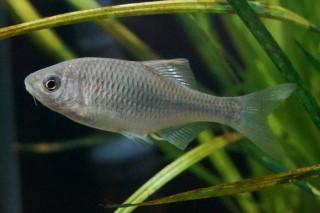 ヤリタナゴ雌(湧水)