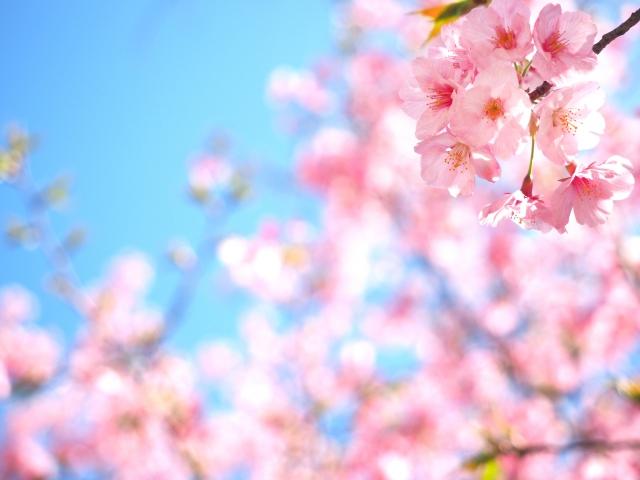 フォリウム 桜