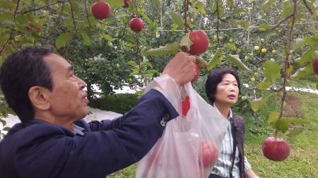 りんごをもぐ