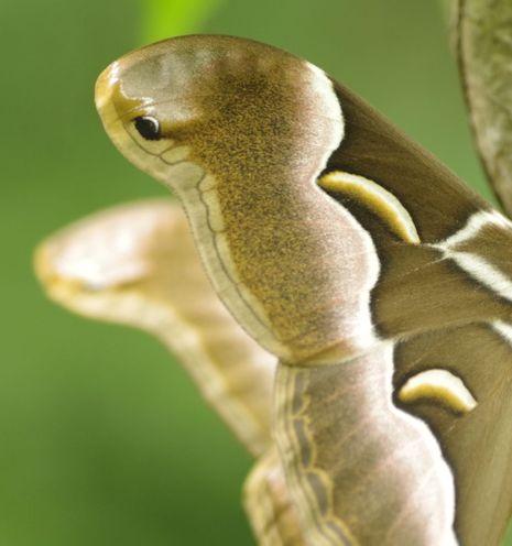 シンジュサンのヘビ模様