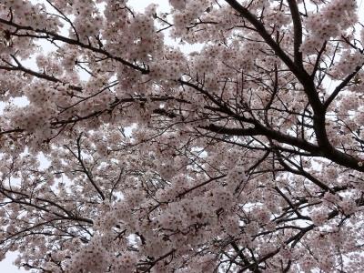 塙町・久慈川沿いの桜