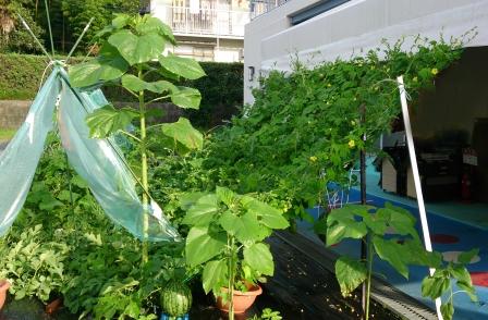 グリーンカーテンほぼ100%繁りました