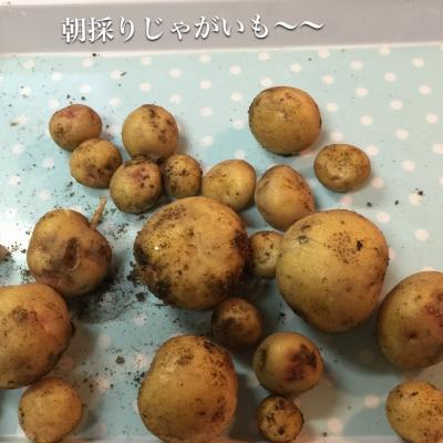 ジャガイモがいっぱい採れました〜〜o(^▽^)o