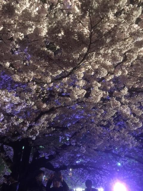 大濠公園桜1