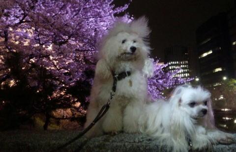 大濠公園桜22